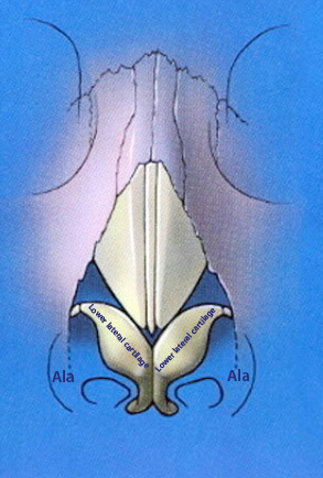Nasal tip anatomy showing where the lower lateral crural cartilages are located
